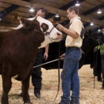 4-H Show Cattle