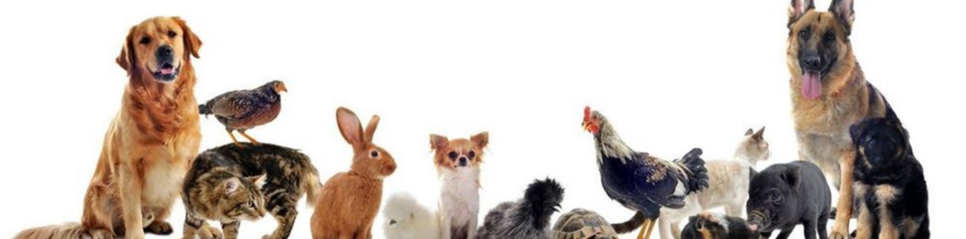 Companion Animal project - Picture of several dogs, chickens, cats, rabbit, turtle, and pigs