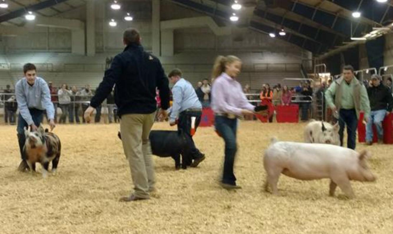 Junior Market Hog Show