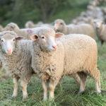 Sheep - herd of sheep