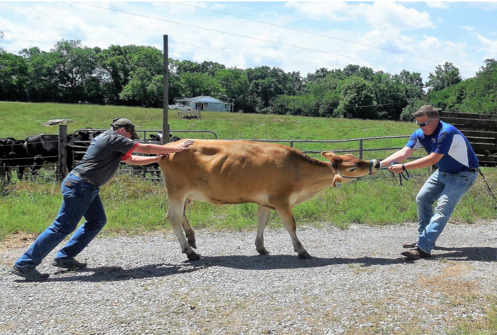 2017 Photo Search - 2 Men with cow (one pushing the cow and one pulling the cow)