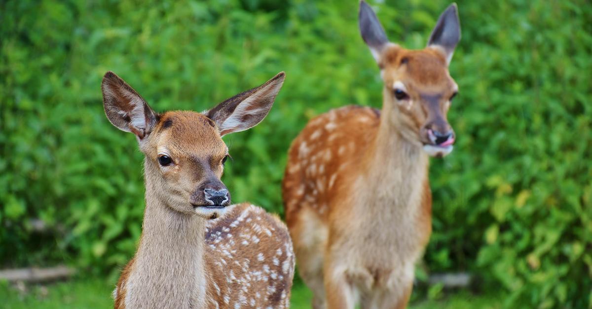 Wildlife Deer
