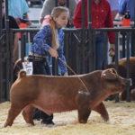 Hog Show Preparation