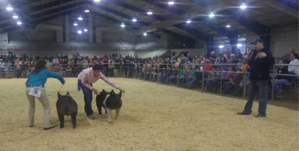 2017 Tennessee Junior Market Hog Show Results - Photo: Judge Will Hilty sorts a challenging senior showmanship class